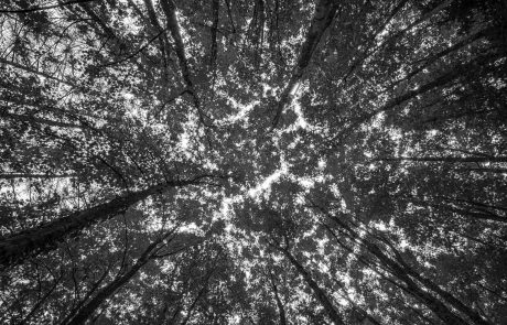 View of top of trees whilst looking up at them